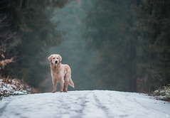 woods x (Cle Manuel) Tags: dogs golden retriever winter snow woods nature pines trees forest tierfotografie hundefotograf cle manuel erlangen bayern germany dogphotography fotograf