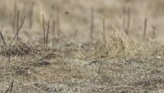 Skylark (Paul..A) Tags: skylark alaudaarvensis lark scotland