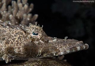 Crocodilefish, Cymbacephalus beauforti, Komodo, Indonesia