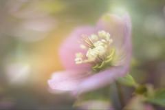 Simple Beauty... (KissThePixel) Tags: flower flowers mauve purple bokeh bokehlicious bokehwednesday macro spring walk garden meadow woodland nikon nikond750 sigmaart f14 light 50mm