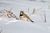 Рогатый жаворонк | Рюм | Horned lark (Vladimir Aquila) Tags: рогатыйжаворонк рюм hornedlark птицы bird wildlife canon sx50 animal