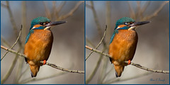 KINGFISHER 4 (astronut2007) Tags: kingfisher alcedoatthis forres moray scotland