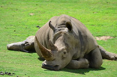 DSC_5338 (Andrew Nakamura) Tags: animal mammal rhino rhinoceros whiterhino southernwhiterhinoceros lyingdown sandiegozoosafaripark safaripark escondido