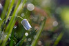 Natural beauty... (ej - light spectrum) Tags: makro macro frühling spring springtime bokeh nature natur natural olympus omd em5markii mzuiko schweiz switzerland frühlingszeit morgenlicht morning sunlight waterdrops wassertropfen meadow green wiese m60mmf28