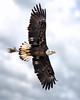 Immature Male Bald Eagle (jeremy.mudd) Tags: eagle baldeagle americanbaldeagle eagleinflight birdinflight birdsinflight bird birds americasbird nationalbird flight nikond500 nikon d500 tamron
