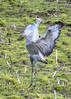 The Pirouette (Noble Bunny) Tags: sandhill crane dance dancing pacific northwest nw