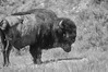 B-lo (wilobe) Tags: theodore roosevelt national park bison buffalo american