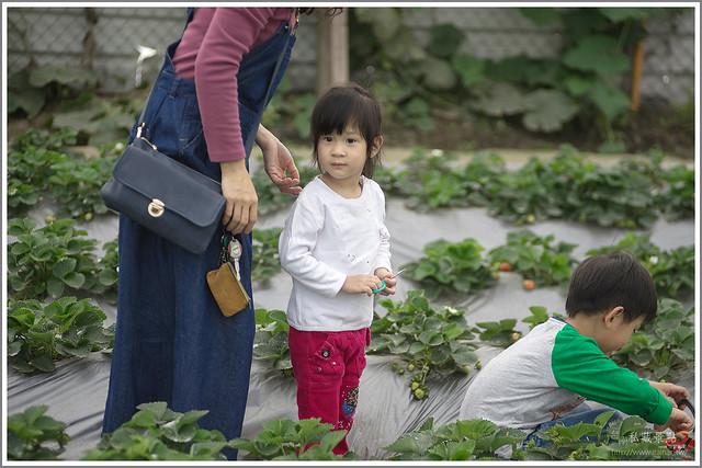 善化草莓 來去晴空農場找無農藥栽種的草莓 (6)
