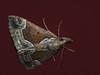 Hypena crassalis - Beautiful snout - Усатка-скоморох (Cossus) Tags: erebidae hypena hypeninae noctuidae пестово совка усатка 2010
