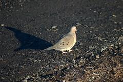 Mourning Dove Walking On Driveway 002 - Zenaida Macroura (Chrisser) Tags: birds bird doves dove mourningdoves mourningdove zenaidamacroura nature ontario canada canoneosrebelt6i canonef75300mmf456iiiusmlens columbidae