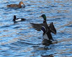 Display Time (jdathebowler Thanks for 1.4 Million + views.) Tags: mallardmale tuftedduckmale mallardfemale ducks wildfowl divingducks waterbirds