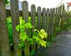 A Wood Fence (Colorado Sands) Tags: fence woodfence plant germany allemagne allemande alemania alemanha sandraleidholdt hff laboe schleswigholstein labo wood