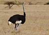 Somali ostrich (Struthio molybdophanes) (Susan Roehl) Tags: kenya2015 samburunationalreserve kenya eastafrica somaliostrich struthiomolybdophanes male flightlessbird large alsoblueneckedostrich northeastethiopia somali animal browser prefersbushierhabitat interbreeding iucnvulnerable sueroehl photographictours naturalexposures pentaxk3 sigma150500mmlens handheld numbershavedecreased outdoor huntedformeat medicinalproducts eggs facingeradication coth5 ngc npc
