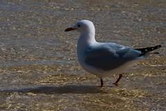 Wadings (JaggedMagpie) Tags: seagull bird photography beach water birb feathers splash sand reflection standing beak gull birdlife wildlife nature