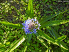 Albarrã-do-Peru // Portuguese Squill (Scilla peruviana) (Valter Jacinto | Portugal) Tags: europe portugal algarve sãobrásdealportel plantae magnoliophyta liliopsida asparagales asparagaceae scilla scillaperuviana albarrãdoperu portuguesesquill cubanlily flores flowers wildflowers blueflowers nature naturephotography biodiversity plantas plants flora taxonomy:binomial=scillaperuviana taxonomy:genus=scilla taxonomy:family=asparagaceae taxonomy:order=asparagales taxonomy:class=liliopsida taxonomy:phylum=magnoliophyta taxonomy:kingdom=plantae geo:region=europe geo:country=portugal nikoncoolpixp900 p900