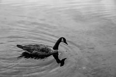 I'm not a duck (Ennev) Tags: brantacanadensis canadagoose pentax pentaxk3 pentaxk3ii blackandwhite bw canada quebec smcpentaxda18135mmf3556edalifdcwr estérel québec ca canadian goose