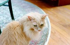 Celebrating Her Quinceanera (katizabitwhite) Tags: fluffy 15 birthday cute pet cat kitten feline animal analog 35mm yashica analogue film photography meow katze gato manual kodak ultramax 400 expired