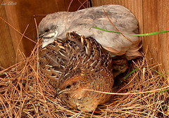 CROWDED NEST (Lani Elliott) Tags: nature naturephotography birds pets quail kingquail nest sylvester henny feathers chick brown plumage grey garden homegarden aviary birdaviary excellent beautiful wonderful