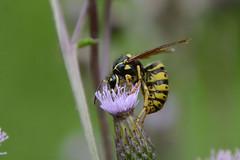 Yellow Jacket (av8s) Tags: yellowjacket wasp canadathistle thistle flower nature wildlife pennsylvania pa photography nikon d7100 sigma 18250mm