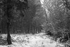 Left Pines and Right Oaks (Maximus Viridius) Tags: snow snowscape forest pentax k3 okehampton devon woods trees pine monochrome