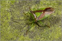 Hawthorn Shieldbug (Ed Phillips 01) Tags: hawthorn shieldbug acanthosoma haemorrhoidale true bug insect macro staffordshire mpe