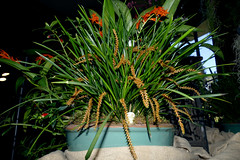the 2018 pacific orchid exposition: Dendrochilum banksii species orchid 2-18 (nolehace) Tags: dendrochilum banksii species orchid 218 sfos poe pacificorchidexposition pacific exposition flower bloom plant winter nolehace sanfrancisco fz1000 series goldengatepark county fair building