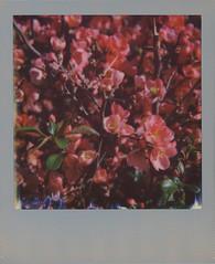 Cydonia Flowers (sycamoretrees) Tags: 600 analog color600 color600201606 cydonia cydoniaoblonga film flower impossible instantfilm integralfilm marianrainerharbach polaroid polaroidoriginals silverframe silverframeedition slr680
