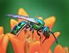Green Sweat Bee On Butterfly Weed (Vidterry) Tags: bee sweatbee greenbee butterflyweed