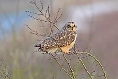 Short Eared Owl (drbut) Tags: shortearedowl asioflammeus birdofprey tree voles bird birds nature wildlife canonef500f4lisusm