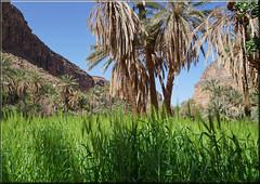 green fields and palm trees (mhobl) Tags: amtoudi green wheat getreide palmen oase maroc morocco palmtrees