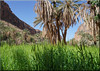 green fields and palm trees (mhobl) Tags: amtoudi green wheat getreide palmen oase maroc morocco palmtrees