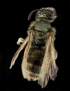 Lasioglossum abundipunctum, F, Back, WY, Lincoln County_2014-06-06-12.07