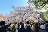IMG_5848 (digitalbear) Tags: canon eos6d sigma 14mm f18 dg art shinjku gyoen sakura cherry blossom blooming hanami tokyo japan