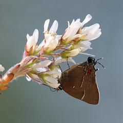 Amelanchier canadensis and White-M Hairstreak from 378 (Will Stuart) Tags: