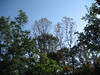 12 07 08_0130 Oak wilt (Run2Find) Tags: bretziellafagacearum ceratocystisfagacearum redoak