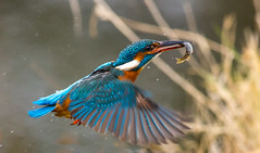 Kingfisher - Female (jeffthatcher66) Tags: kingfisher