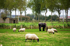 Tonte (Atreides59) Tags: cheval horse poney mouton sheep moutons sheeps animal animaux animals vert green arbre tree arbres trees bunker blockhaus blockhouse belgique belgium guerre mondiale world war ww wwii ww2 welt krieg weltkrieg mur atlantique atlantic atlantik wall atlantikwall murdelatlantique pentax k30 k 30 pentaxart histoire history vestige vestiges atreides atreides59 cedriclafrance