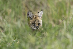 Stealth tactics (tmeallen) Tags: servalcat leptailurusserval feline hunting stealthtactics hidden concealed wildlife grasses tallgrass lakendutu serengeti tanzania rainyseason eastafrica safari