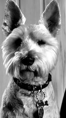 Maks B&W. (andrzejskałuba) Tags: polska poland pieszyce dolnyśląsk silesia sudety europe panasoniclumixfz200 zwierzę animal pies dog monochrome bw