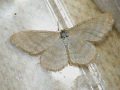 Idaea pallidata - Малая пяденица бледная (Cossus) Tags: geometridae idaea sterrhinae пяденица 2009 анциферово