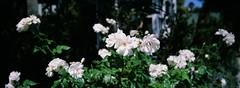 Venice (Travis Estell) Tags: 35mmfilm california californiaonfilm fujiprovia100f hasselbladxpanii laonfilm losangeles losangelescounty losangelesonfilm provia100f thedarkroom thedarkroomlab venice xpan film flowers whiteflowers unitedstates us