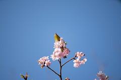 _DSC0812.jpg (plasticskin2001) Tags: mejiro sakura flower bird
