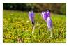 Frühlingsboten (günter mengedoth) Tags: krokus frühling spring pentax manuell bokeh saariysqualitypictures smcpentaxdfa50mmf28macro