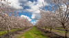 The Lost Paradise. (Arup De) Tags: cherry cherryblossoms california spring nature flower garden heaven paradise farm outing hdr merge cherrytree