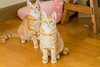 Two Girl Kitties (Sharleen Chao) Tags: cat kitten girls baby indoor taiwan taipei animals domesticcats orange fanda 貓 貓咪 寵物 feline 幼貓 室內 台灣 台北 浪貓收編 女生 橘貓 虎斑 ねこ 子猫 オーレンジ ファンダ 猫チャン ペート