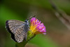 Alas azules, pétalo purpura (carlosbenju) Tags: naturaleza nature verde macros macrofotografia macrodreams macroflower blue azul butterfly mariposa colores colors