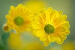 chrysanthemum 8410 (junjiaoyama) Tags: japan flower plant chrysanthemum mum yellow bokeh winter macro