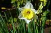Narcissus pseudonarcisus, Zaragoza (eustoquio.molina) Tags: narcissus pseudonarcissus zaragoza flower narciso naturaleza nature