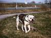 Bumper (Skylark92) Tags: nederland netherlands holland flevoland almere hond dog amerikaanse american bulldog