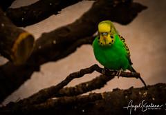 Aves Selva Viva (Angel Santana - Fotografía) Tags: biobio concepcion selvaviva aves animales fauna colores canario loro canonchile eosrebelt6